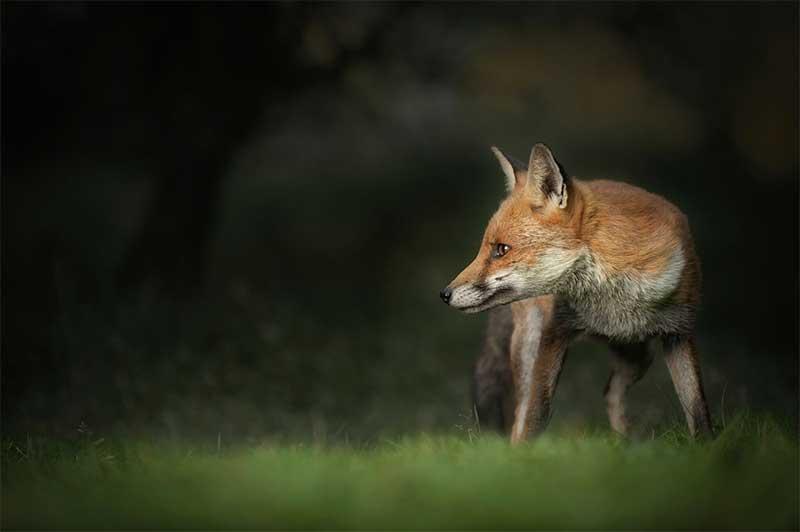 fox_picture2