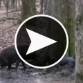 hog_hunting_with_dogs