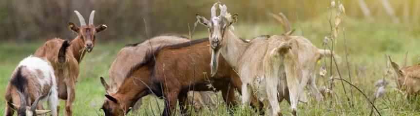 goat_header_hunting