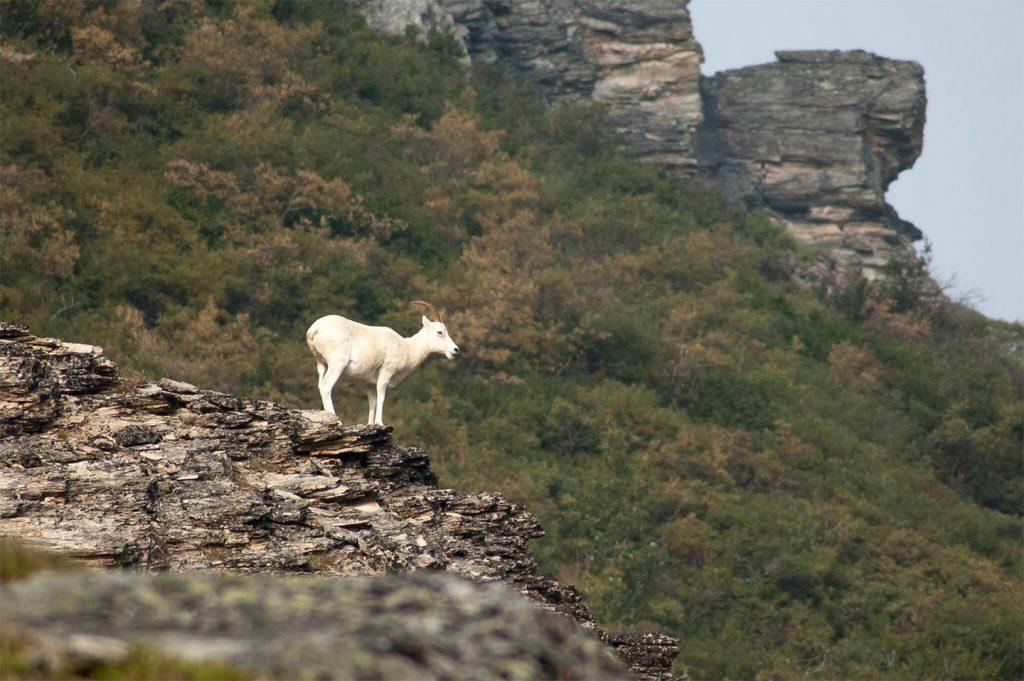 goat_hunting_2