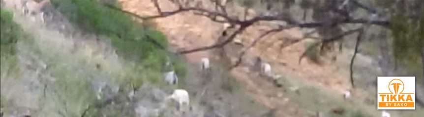 tikka-t3-goat-hunting